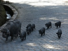 48 - Yuanyang - black pigs family