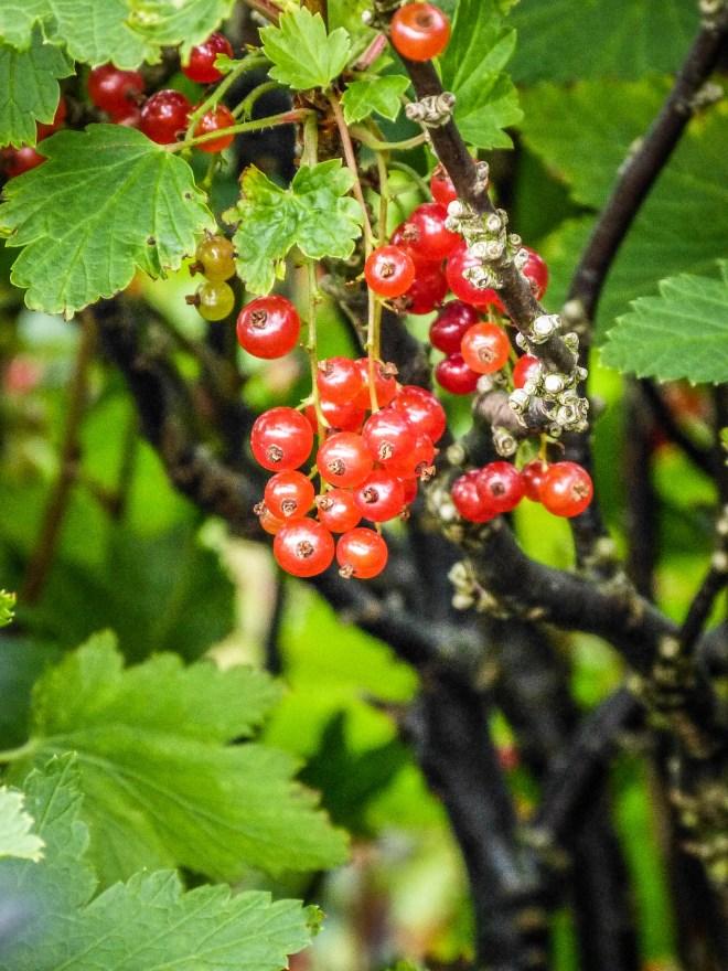 Faroe Islands Kunoy Färöer Inseln Johannisbeeren Früchte
