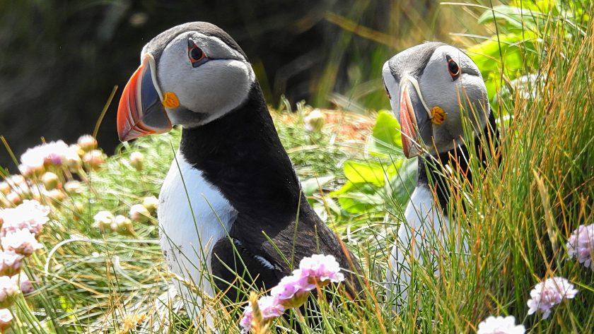 Tammie norrie heisst der Puffin auf Shetland