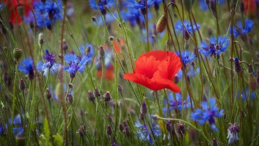 Dieses Bild hat ein leeres alt-Attribut; sein Dateiname ist Blau-und-Rot-Mohn-und-Kornblumen-Bodensee-1-von-1.jpg.