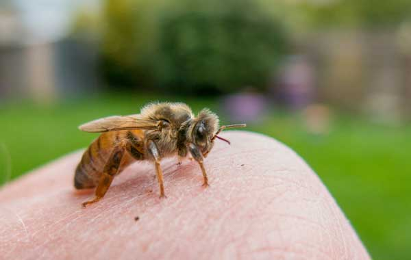 Queen bee on a hand with hives in background