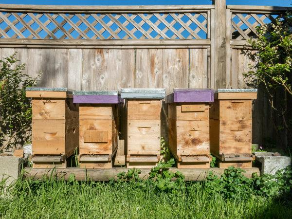 Honeybee nucleus colonies