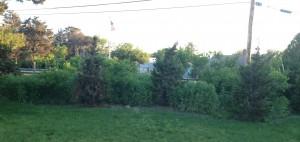 Backyard hedge line