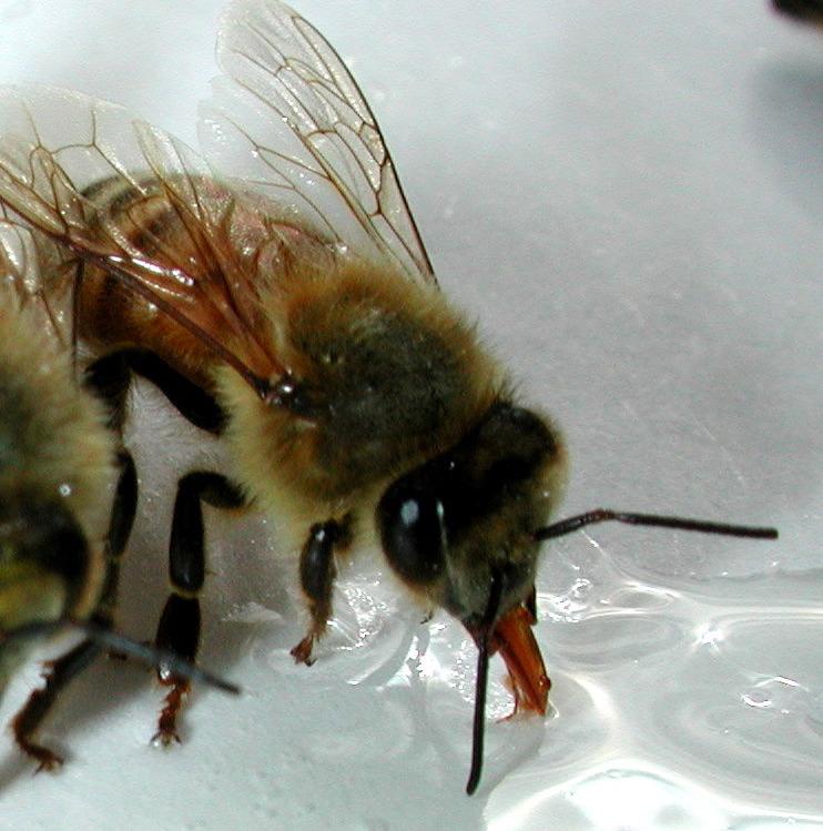 bee drinken suikerwater