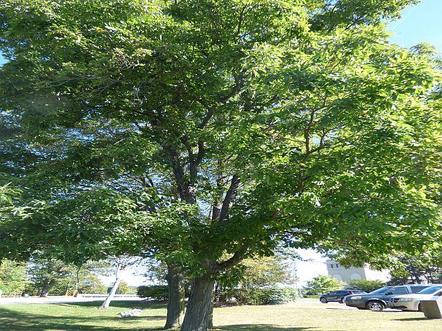 Niagara Pignut Hickory