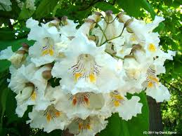 Northern Catalpa blooms