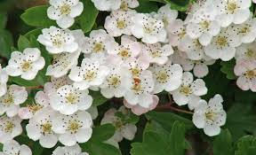 Hawthorn in Bloom