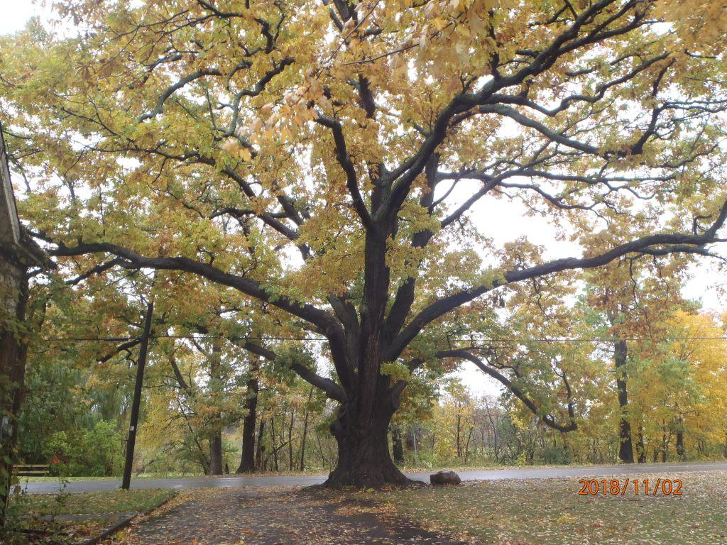 Treaty Tree in Niagara