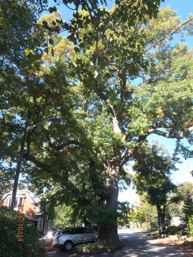 HERITAGE WHITE OAK AT 300 YEARS OLD