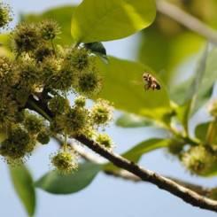 tupelo bloom