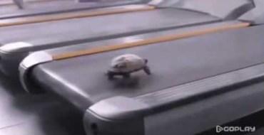 самая быстрая черепаха в мире