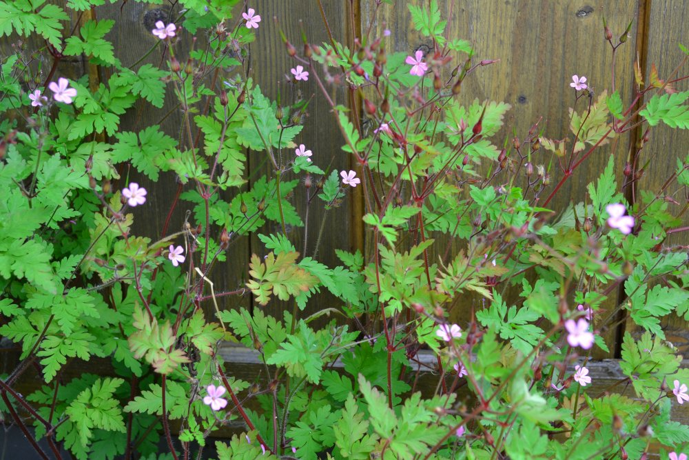 Erfahrungen mit Geranium Robertianum für die Seele in der Homöopathie
