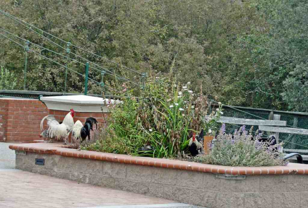 roosters near swinging bridge in arroyo grande ca