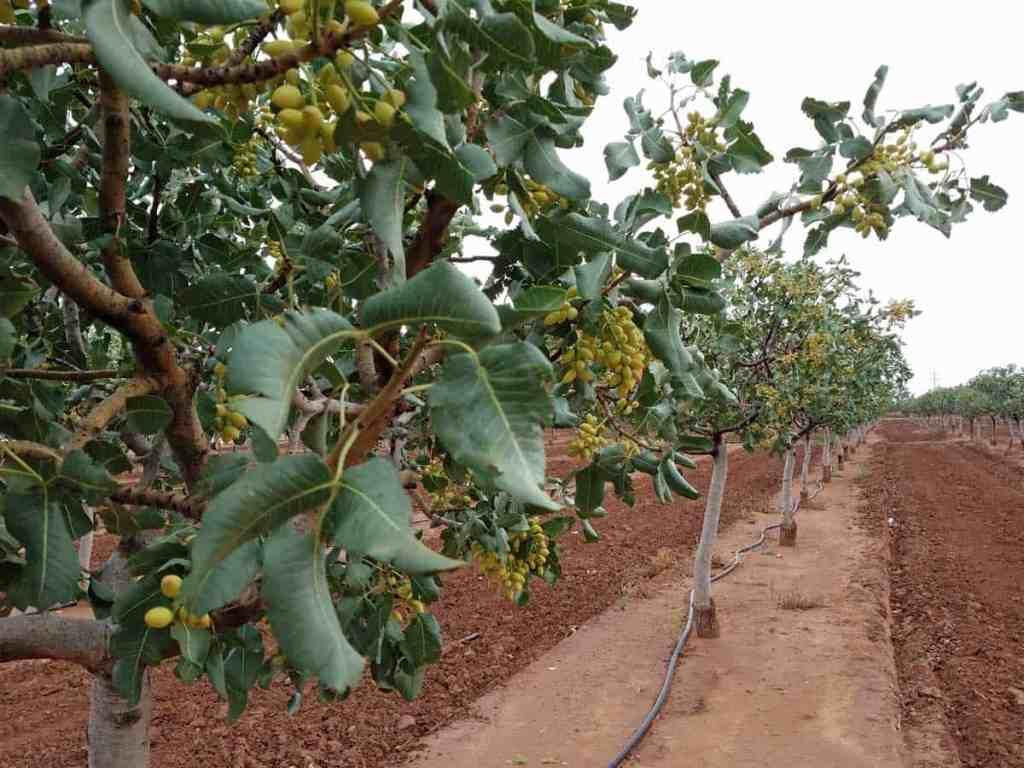 pistachio orchard at McGinn's Pistachio Tree Ranch in Alamogordo, NM