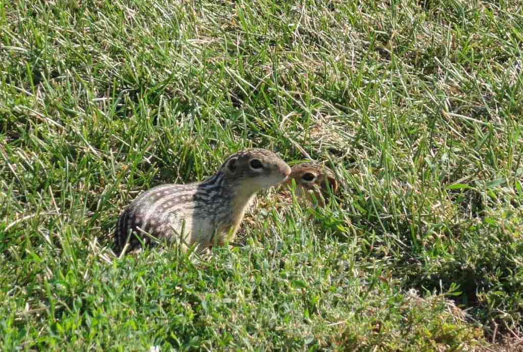 While visiting the World's Largest Covered Wagon, be sure to admire the cute little thirteen-striped ground squirrels that have set up home in the grass all around the wagon.