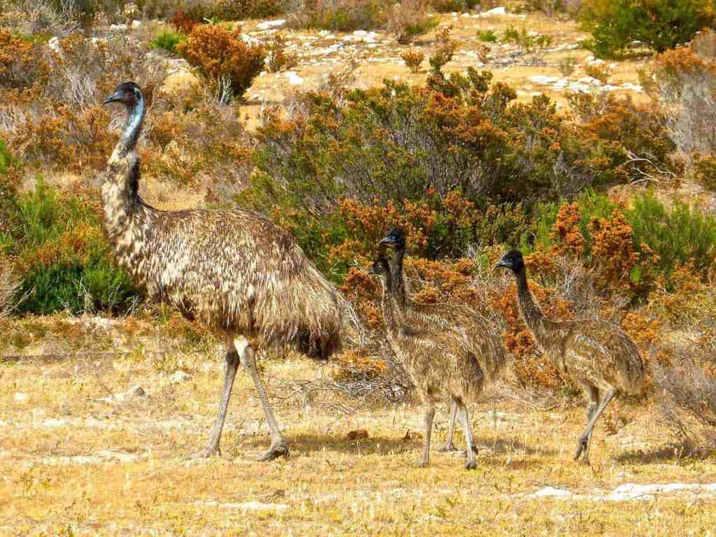 An emu father with his three chicks. The male emus raise the emu chicks from the time the eggs are laid.