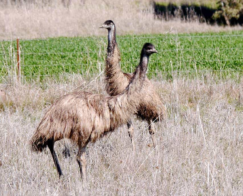 Two emus stand near a farmer's crop. The farmers of western Australia fought the mobs of hungry marauding emus that invaded their fields and ruined their crops. The 1932 battle between farmer and emu became known as the Emu War.