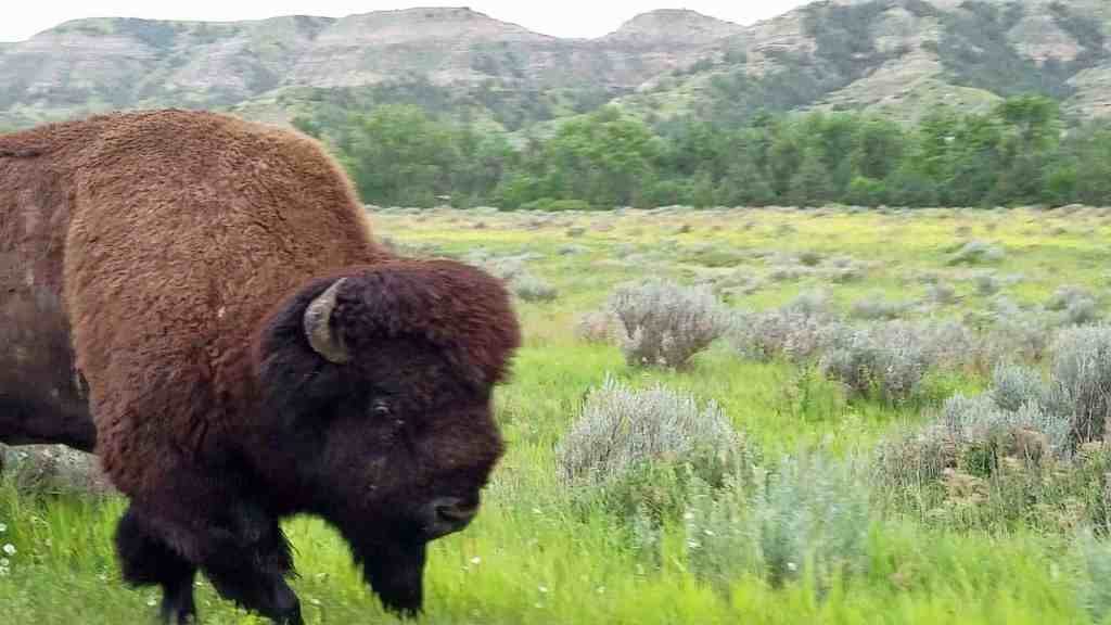a bison walking in Theordore Roosevelt National Park