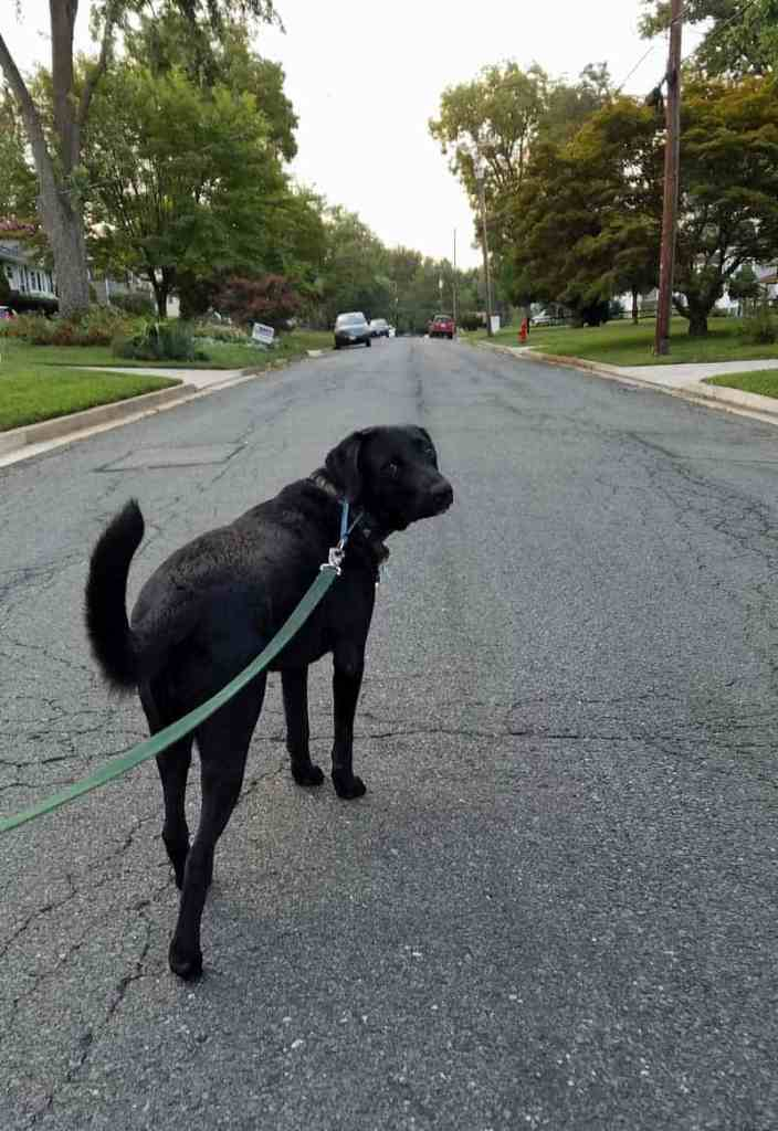black lab dog on a leash standing in the street ready to go on a walk