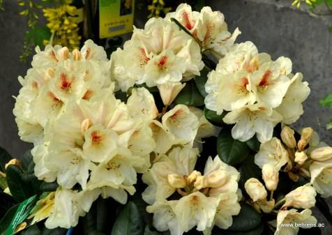 Rhododendron Goldbukett