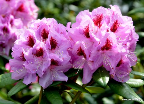 Rhododendron 'Humboldt Superior'