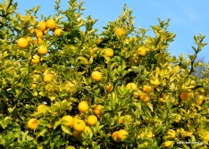 Poncirus trifoliata | Bitterorange