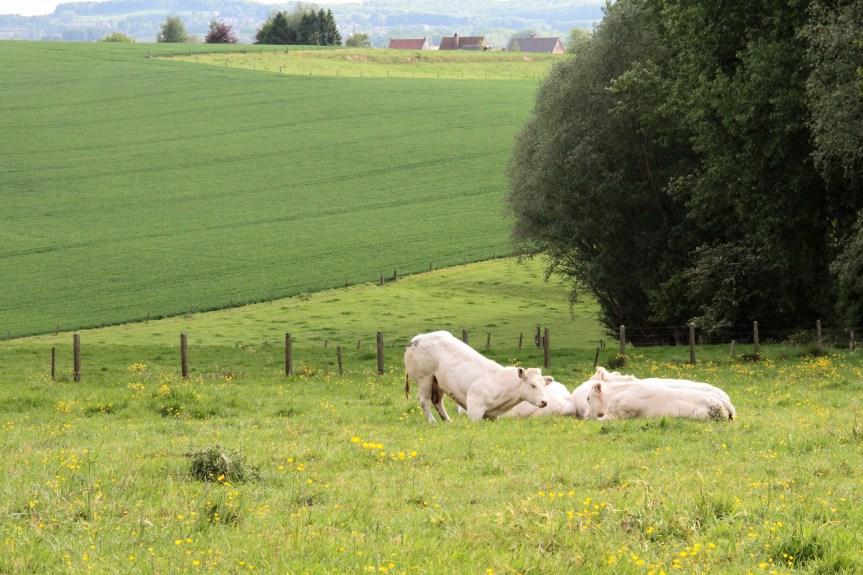 koeien in de weide IMG_5611