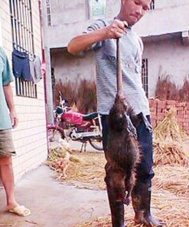 https://i1.wp.com/beijingcream.com/wp-content/uploads/2013/10/Huge-rat-in-China-killed.jpg