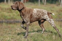 German Shorthaired Pointer ~ image from Wikipedia http://bit.ly/12hSd5P