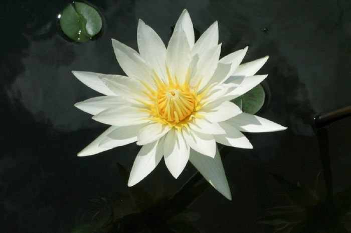 White lotus flower - Copy - Copy