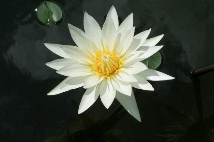 White lotus flower - Copy - Copy