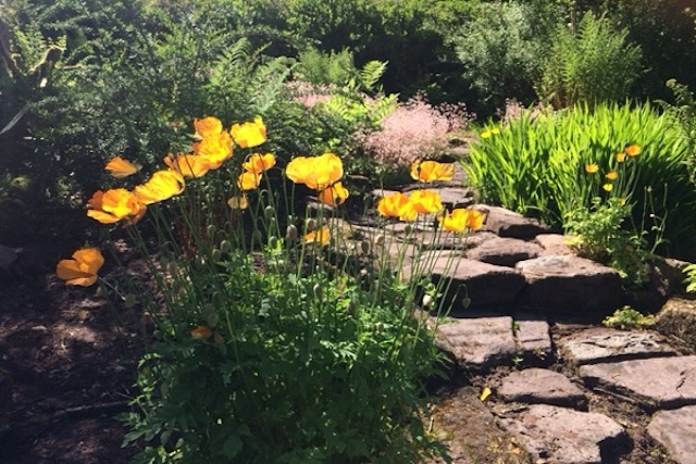 Clump of Welsh poppies beside stone  path in the garden at Graig Ddu, Llanthony Valley