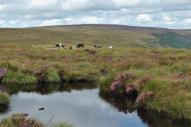 Ponies grazing on the Black Mountains above the Llanthony Valley