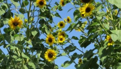 mark friend sunflowers