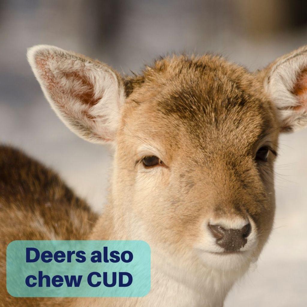 deers also chew cud