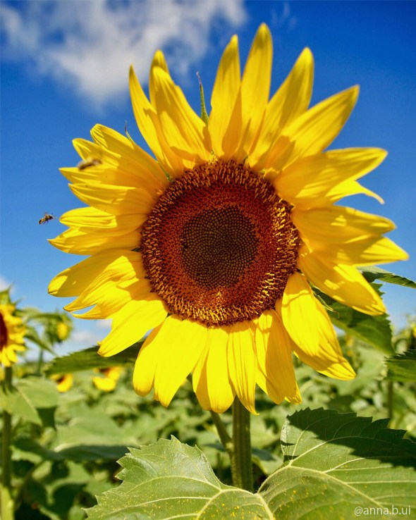 BeInspireful - Sunflower Picture