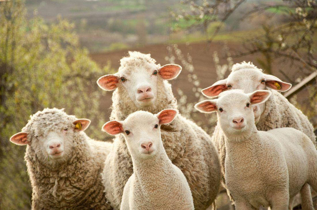 Câmara de Trancoso apoia saneamento sanitário de ovinos, caprinos e bovinos