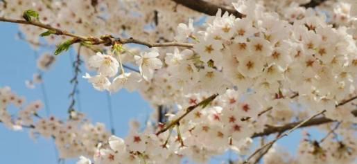 https://www.cp.pt/passageiros/pt/como-viajar/em-lazer/cultura-natureza/Cerejeiras-em-flor-de-comboio#sthash.6lahxbpn.dpuf