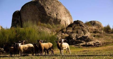Portugal tem 61 raças autóctones e ovinos Serra da Estrela estão em maior número
