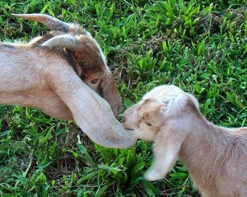 goats-41.JPG