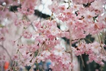 Cherry Blossom Photo copyright Rebecca Lau