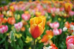 Orange Tulip Photo copyright Rebecca Lau