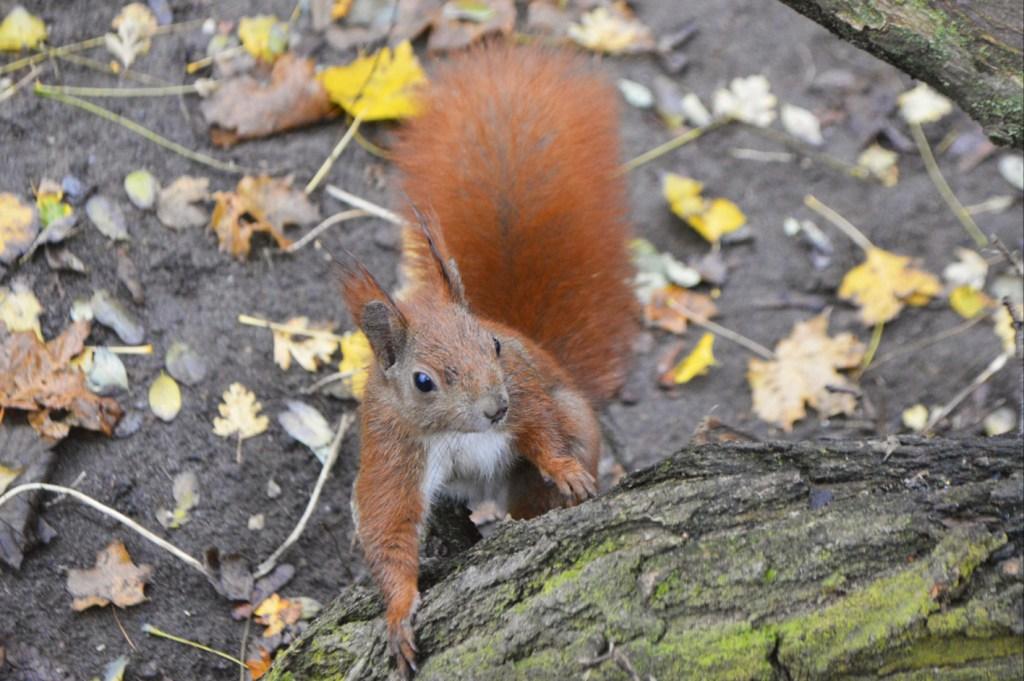 Fotos rote Eichhörnchen Berlin Humboldthain - Gleimviertel  bekitschig.blog