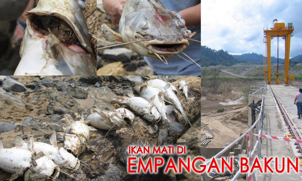 Pencemaran- Beribu-ribu ikan mati di Empangan Bakun.