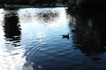 soang berenang