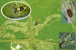 liriomyza im