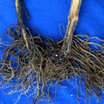 phytopthora-root-blight