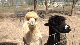 Feeding llamas.