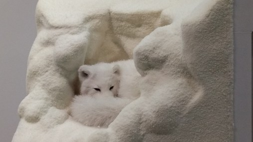 Snow fox in his cutaway hole.