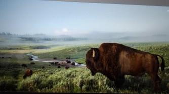 American Bison by Sandy Sisti